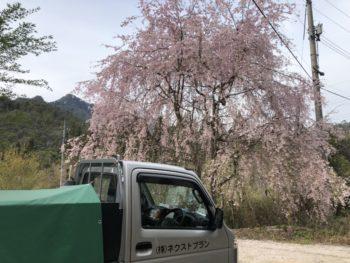 大竹市栗谷町 しだれ桜 水漏れ修理の合間の休憩