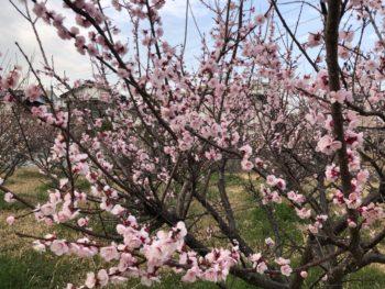 周南市秋月の梅の花